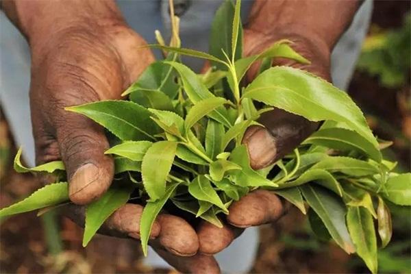 """源自阿拉伯的一片""""茶树叶子"""",竟然也是一种毒品!"""