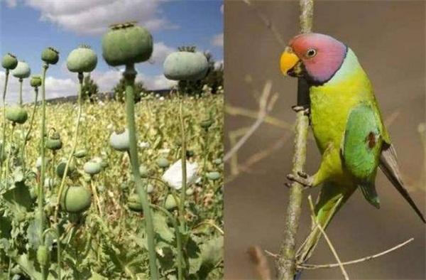 """""""会飞的瘾君子""""每天40次造访罂粟农场,原来不光人会吸毒上瘾!"""