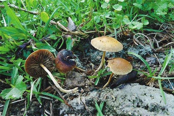 17岁少女吃了蘑菇竟跳楼,迷幻蘑菇真的有这么迷幻吗?