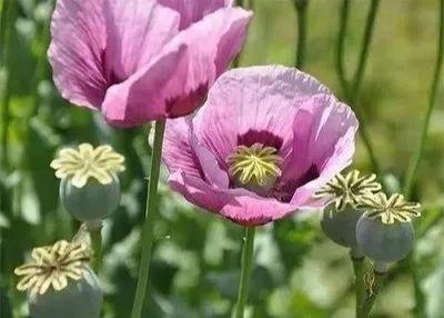 罂粟花的花语是什么?罂粟的这些事你了解多少?