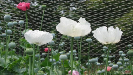 """""""罂粟""""花不能随便种,更不能随便持有!"""