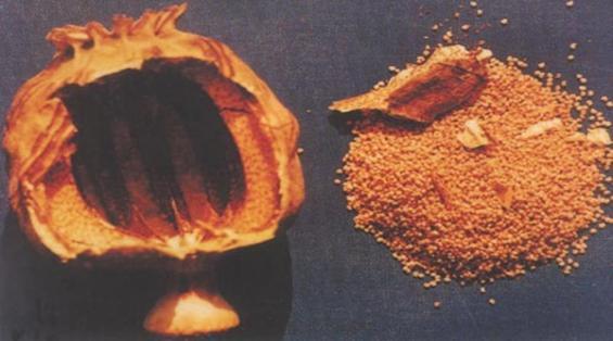 罂粟籽也是毒品吗?